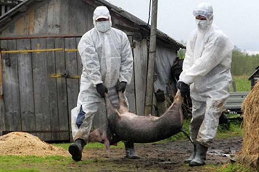 """Результат пошуку зображень за запитом """"африканська чума свиней"""""""